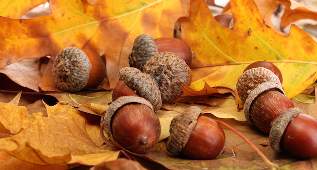 From an ACORN a Huge Oak Tree develops….